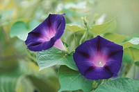 Dark Blue Morning Glories