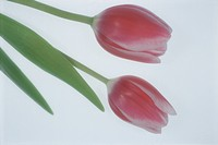 Tulip (thumbnail)