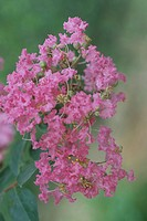 Crape Myrtle (thumbnail)
