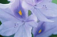 The Flower Of A Water Hyacinth