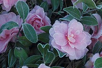 Pink Camellias In Frost