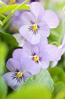 Lavender Pansy Flower Trio. Viola x wittrockiana.