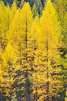 Forests of Western Larch Larix occidentalis displaying their golden needles in autumn, Flathead National Forest Montana USA