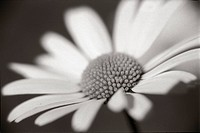 Prästkrage, närbild. Close_Up Of Oxeye Daisy B&W