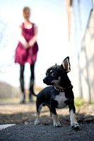 Chihuahua Foto: Urban Jörén Kod 926 Copyright Pressens Bild , Close_Up Of Chihuahua With Person In The Background