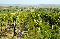 View over grape vines and reed near the border to Hungary Moerbisch at Neusiedler See Burgenland Austria