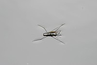 Water strider (Gerris spec.)