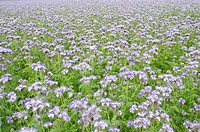 Phacelia Phacelia tanacetifolia used as organic fertilizer or green dung on a acre