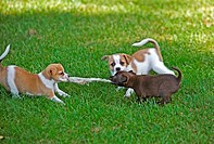 three half breed dog puppies _ playing on meadow restrictions: animal guidebooks, calendars