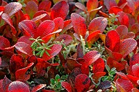 In autumn the vegetation of the tundra change color to a bright red Denali Nationalpark Alaska USA