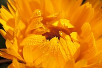 Marigold Calendula officinalis
