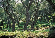 Olive grove in spring - Corfu - Greece