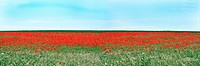 Field of poppy seed