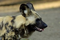 African Wilddog Lycaon pictus, Africa endangered portrait, Zoo Berlin, Germany