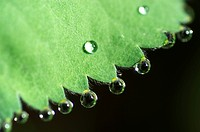 Dew drops on lady´s mantle leave Alchemilla mollis