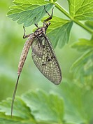 Female mayfly. This mayfly order Ephemeroptera is in its first stage, the subimago, of two flying stages. It has emerged from its nymphal stage in the...