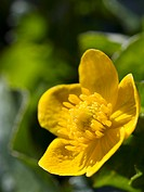 Marsh marigold Caltha palustris flower. Marsh marigold, or kingcup, flowers grow in damp meadows and on riversides.