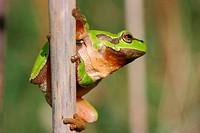 Common Tree Frog Hyla arborea sitting on reed