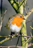 European robin Erithacus rubecula perching on a thorny branch. Male robins are noted for their highly aggressive territorial behaviour towards other m...