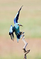 European roller Coracias garrulus landing on a branch with prey in its beak. This migrant bird is the only roller bird family member to breed in Europ...