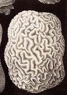 Brain coral, historical artwork. This hard coral is named for its convoluted skeleton that resembles the surface of a brain. It is also known as a maz...