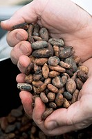 Cocoa beans being held in hands. These beans are obtained from the pod of the cocoa plant Theobroma cacao, also known as the cacao tree. The leathery ...