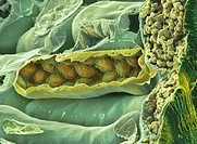 Leaf section. Coloured scanning electron micrograph SEM of a section through a fractured leaf. At right is a single layer of cells that forms the epid...