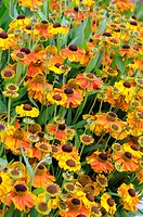 Sneezeweed Helenium ´Sahin´s Early Flowerer´ flowers.