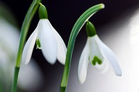 Snowdrop flowers Galanthus nivalis.