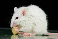 White mouse eat cheese