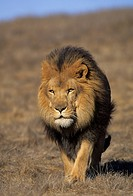 AFRICAN LION male walking on savanna. Panthera leo