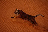 TIGER in captivity running up red sand dune. Panthera tigris