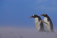 GENTOO PENGUINS in sandstorm. Pygoscelis papua papua. Falkland Islands