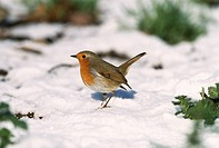 ROBIN on ground in snow. Erithacus rubecula. January. Essex. England.