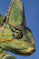 VEILED CHAMELEON head detail. Chamaeleo calyptratus calyptratus. Native to Saudi Arabia and Yemen.