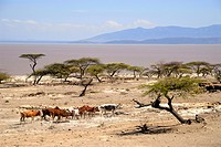Herd of cattle in arid savannah at Langano Lake Ethiopia