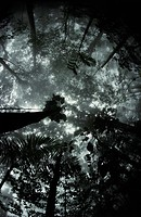 TROPICAL RAINFOREST. Morning view upwards into misty canopy. Venezuela. South America