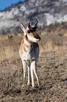 North american male pronghorn antelope