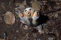 TWO_TOED or SILKY ANTEATER. Cyclopes didactylua. threat display. South America