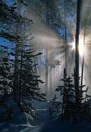 SUN'S RAYS in mid_winter shining through steam in forest in geothermal area. Yellowstone National Park. Wyoming. USA