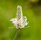 Plantago lanceolata (Ribwort)