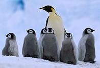 EMPEROR PENGUIN & young. Aptenodytes forsteri. Weddell Sea. Antarctica.