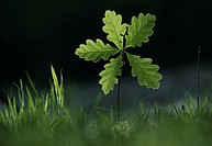 ENGLISH OAK or PEDUNCULATE OAK seedling. Quercus robur