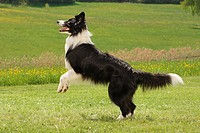 border collie_ jumping on meadow