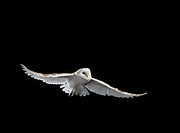 BARN OWL in flight. Tyto alba