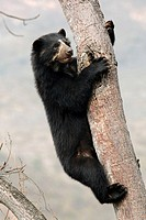 Spectacled bear (Tremarctos ornatus) climbing in tree, Chaparri Ecological Reserve, Peru, South America