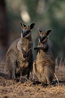 SWAMP WALLABY pair. Wallabia bicolor. Gorge wildlife Park. South Australia