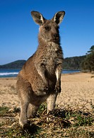 EASTERN GREY KANGAROO on beach. Macropus giganteus. Murramarang National Park. New South Wales. Australia