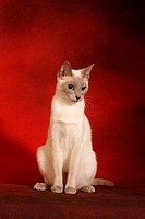 thai cat _ sitting