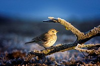 Water Pipit (Anthus spinoletta). Guadarrama, Madrid, Spain